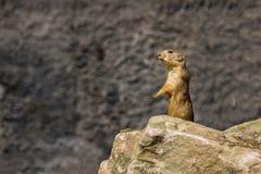 Marmotta sopra Fotografia Stock Libera da Diritti