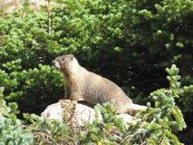 Marmotta sorridente Fotografia Stock
