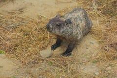Marmotta spaventosa Fotografia Stock Libera da Diritti