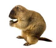 Marmotta (steppa del Marmota) su una priorità bassa bianca Fotografie Stock