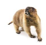 Marmotta (steppa del Marmota) su una priorità bassa bianca Immagini Stock Libere da Diritti