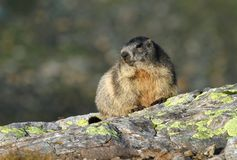 Marmotta su roccia Immagini Stock