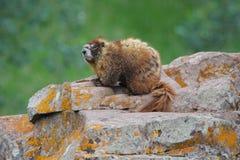 Marmotta su roccia in prato alpino Immagini Stock