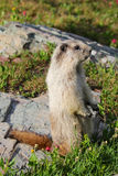 Marmotta su roccia in prato alpino Immagini Stock Libere da Diritti