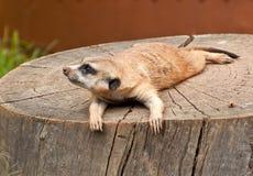 Marmotta su un albero-ceppo Fotografie Stock Libere da Diritti