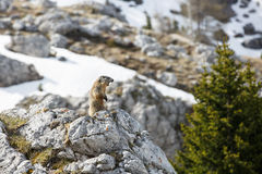 Marmotta su un'allerta per i predatori Immagine Stock Libera da Diritti