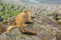 Marmotta su una roccia Fotografia Stock