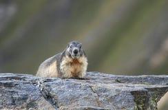 Marmotta sulla pietra Immagine Stock Libera da Diritti