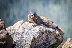Marmotta sulle rocce Immagini Stock Libere da Diritti