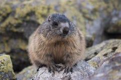 Marmotta sulle rocce Tatry Immagine Stock Libera da Diritti