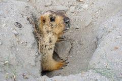 Marmotta in suo foro sul modo a turtuk, Leh Ladakh Immagine Stock