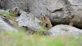 Marmotta sveglia che si siede sotto una pietra, Europa, svizzero del alpin stock footage