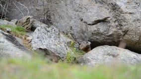 Marmotta sveglia che si siede sotto una pietra, Europa, svizzero del alpin archivi video