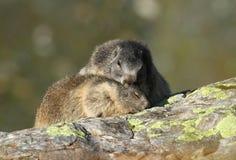 Marmotta tenera Fotografie Stock
