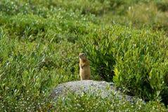 Marmotta in un'erba Fotografie Stock