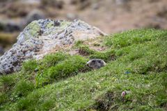 Marmotta in un foro che sembra controllante l'area, alpi europee Immagine Stock Libera da Diritti