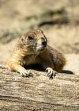 Marmotta vigilante che prende un resto fotografie stock