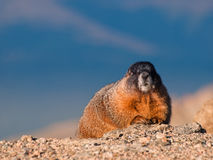 Marmotta Yellow-bellied Fotografie Stock Libere da Diritti