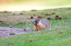 Marmotta Yellow-Bellied Fotografia Stock Libera da Diritti