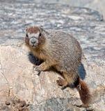 Marmotta Yellow-bellied Immagini Stock Libere da Diritti