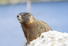 Marmotta Yellow-bellied Fotografie Stock