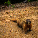 Marmotta Yellow-bellied Immagine Stock Libera da Diritti