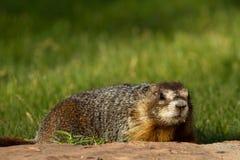 Marmotta Yellow-bellied, flaviventris del Marmota Fotografie Stock Libere da Diritti
