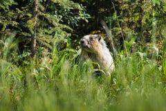 Marmotta Yellow-bellied (flaviventris del Marmota) Fotografia Stock