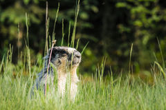 Marmotta Yellow-bellied (flaviventris del Marmota) Immagine Stock