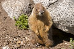 Marmotta, Yosemite Immagine Stock