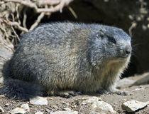 Marmotte 1 Photo stock