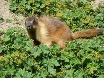 Marmotte Photographie stock libre de droits