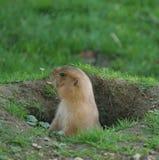 Marmotte Photo stock