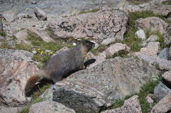 Marmotte Images libres de droits