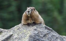 Marmotte Photo libre de droits