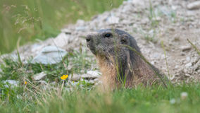 Marmotte Photographie stock