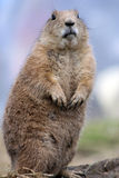 Marmotte image libre de droits