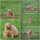 Marmotte Fotografia Stock