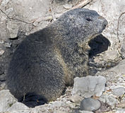 marmotte Photos stock