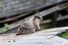 marmotte Photos stock