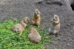 Marmotte Immagine Stock Libera da Diritti