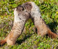 marmotte Images stock