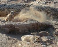 Marmotte Fotografia Stock Libera da Diritti