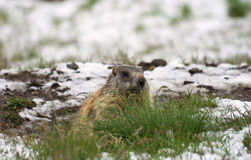 Marmotte image stock