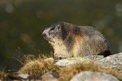 Marmotte adulte Photos libres de droits