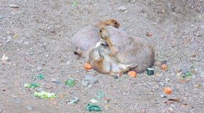 Marmotte allegre Fotografia Stock Libera da Diritti