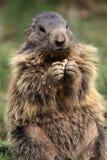 Marmotte alpestre Photographie stock