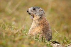 Marmotte alpestre Image stock