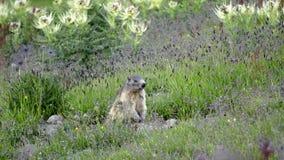 Marmotte alpestre banque de vidéos