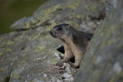 Marmotte alpestre Photographie stock libre de droits
